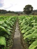 Плантация табака в тропических горах Таиланда стоковые изображения