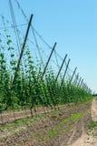 Плантация хмеля для винзавода в восточной Польше Стоковая Фотография