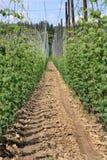 плантация хмеля Стоковое Изображение