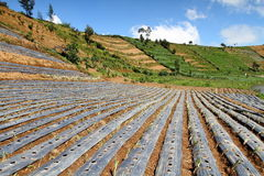 плантация холма чилей стоковое фото rf