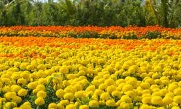 Плантация цветка в южном Вьетнаме стоковые изображения rf