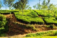 плантация Цейлон кустов чая горы, Шри-Ланка стоковое фото