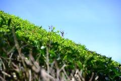 Плантация чая в гористых местностях Камерона Стоковая Фотография