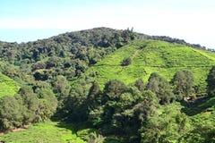 Плантация чая в гористых местностях Камерона Стоковое фото RF
