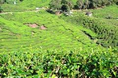Плантация чая в гористых местностях Камерона Стоковое Изображение