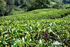 Плантация чая в гористых местностях Камерона Стоковые Изображения RF