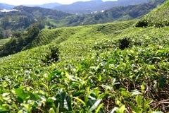 Плантация чая в гористых местностях Камерона Стоковые Фотографии RF