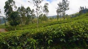 Плантация чая в Nuwara Eliya видеоматериал