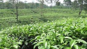 Плантация чая в Wonosobo borobodur Индонесия java сток-видео