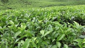 Плантация чая в Wonosobo borobodur Индонесия java видеоматериал