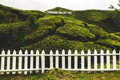 Плантация чая долины Камерона принятая в гористую местность Камерона стоковые изображения rf