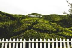 Плантация чая долины Камерона принятая в гористую местность Камерона стоковое фото