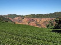 Плантация чая и голубое небо стоковое изображение rf