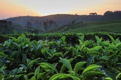 Плантация чая и листья чая на заходе солнца стоковая фотография rf