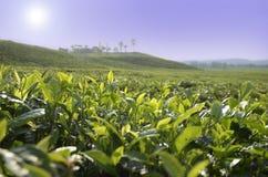 Плантация чая Камерун Стоковая Фотография