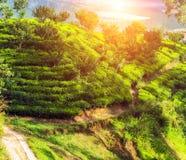 Плантация чая на холме, Цейлон, Шри-Ланка стоковое изображение