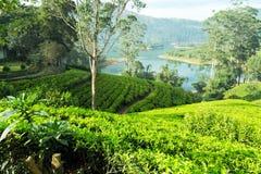 Плантация чая на холме, Цейлон, Шри-Ланка стоковое изображение rf