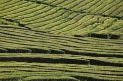 Плантация чая на Cha Gorreana на острове Мигеля Sao, архипелаге Азорских островов в Атлантическом океане принадлежа к Португалии Стоковое Изображение