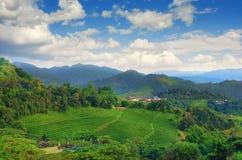 Плантация чая на Doi Mae Salong в Chiang Rai, Таиланде Стоковые Фото