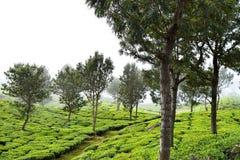 Плантация чая с серебряными дубами на холмах в Munnar, Керале, Индии - зеленом ландшафте - камелия Sinensis Стоковые Фото