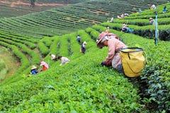 Плантация чая Choui Fong стоковая фотография