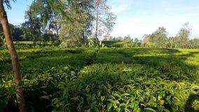 Плантация чая Ciwidey стоковые фотографии rf