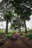Плантация чая Malang Wonosari, Индонезия стоковые фотографии rf