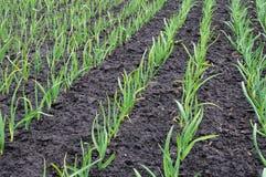 плантация чеснока Стоковые Фотографии RF