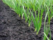 плантация чеснока Стоковая Фотография