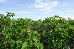плантация jatropha curcas стоковые фото