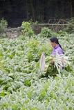 плантация kale хуторянина ужинает сезон Стоковое Фото