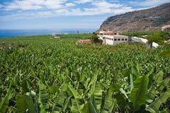 плантация palma la банана преогромная Стоковая Фотография
