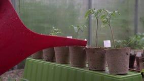 Пластиковая консервная банка брызгать или направить моча завод томата в парнике Органические доморощенные заводы томата без овоще акции видеоматериалы