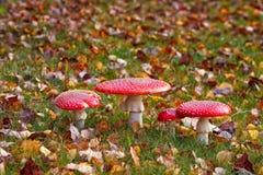 4 пластинчатого гриба мухы среди мертвых листьев Стоковое Фото