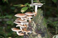 Пластинчатые грибы меда на пне в лесе стоковое фото rf