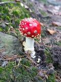Пластинчатый гриб гриба или мухы muscaria мухомора растя в лесе Стоковая Фотография RF