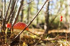 Пластинчатый гриб мухы гриб в лесах стоковое фото rf