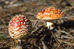 Пластинчатый гриб мухы в лесе Стоковые Изображения