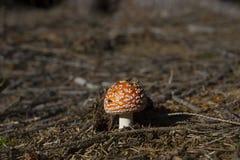 Пластинчатый гриб мухы в лесе Стоковые Изображения RF