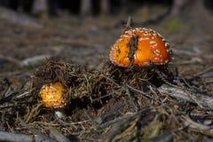 Пластинчатый гриб мухы в лесе Стоковая Фотография RF