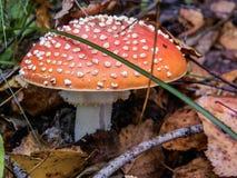 Пластинчатый гриб мухы гриба в лесе Стоковое фото RF