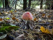 Пластинчатый гриб мухы гриба в лесе Стоковая Фотография