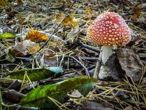 Пластинчатый гриб мухы гриба в лесе Стоковые Изображения