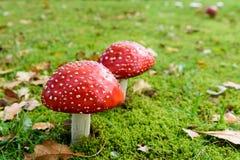 Пластинчатый гриб мухы или мухомор мухы Стоковое фото RF