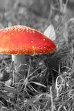 Пластинчатый гриб мухы или мухомор мухы, muscaria мухомора, грибки гриба Стоковые Изображения RF