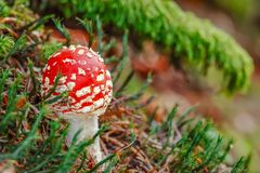 Пластинчатый гриб мухы на лесе, крупный план никто стоковые изображения