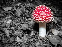 Пластинчатый гриб мухы Стоковые Фото
