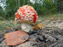Пластинчатый гриб мухы, гриб Стоковая Фотография RF