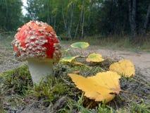 Пластинчатый гриб мухы, гриб Стоковая Фотография