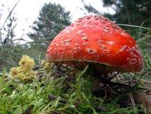 Пластинчатый гриб мухы, гриб Стоковое Изображение